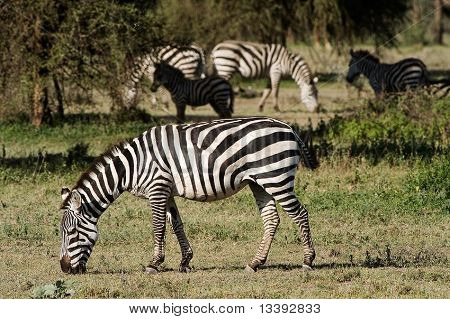 Grazed Zebra On A Green Grass