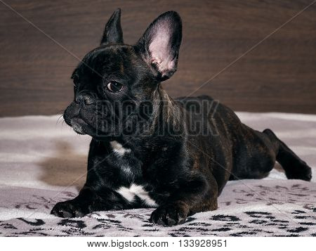Dog lying on the bed. A close look. Black dog, purebred puppy. French Bulldog