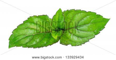 Fresh raw mint leaves isolated on white background. Fresh top leaves of mint isolated on white