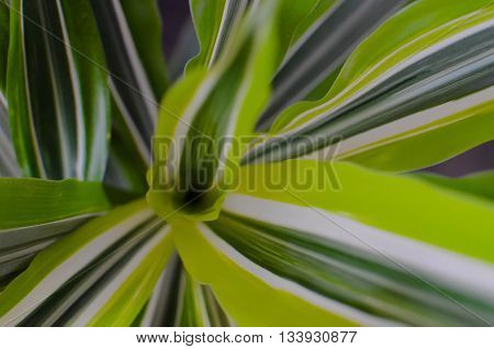 Green Leaf Background. Dracaena Closeup