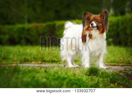 beautiful dog breed Papillon the summer on the track