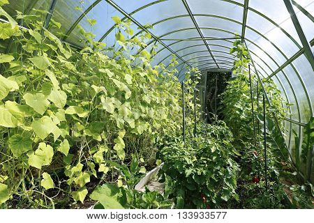 Young plants tomato seedlings in a greenhouse of transparent polycarbonate