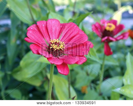 Bright beautiful red zinnia flower in the garden in summer