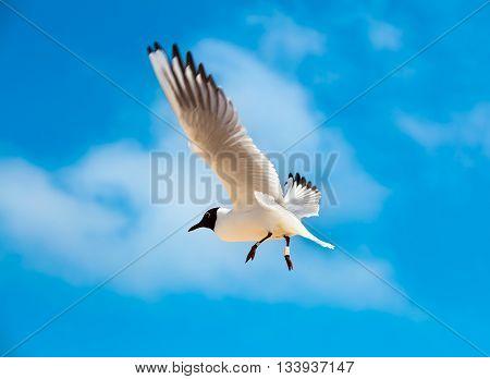 flying Gull Black headed Gull Chroicocephalus ridibundus