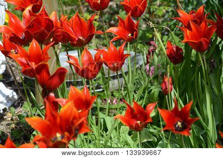 Red tulips with pointed petals, in France