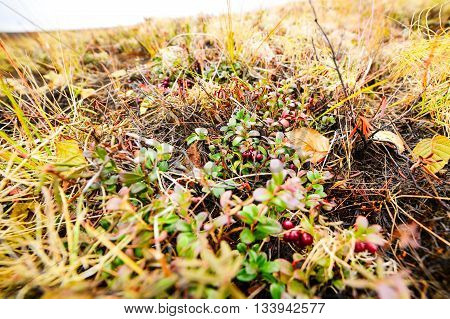 Small Shrub With Berries Ripe Cranberries.