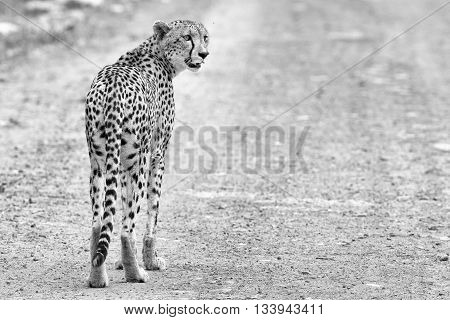 Lone cheetah walking across a road at dusk to look for prey