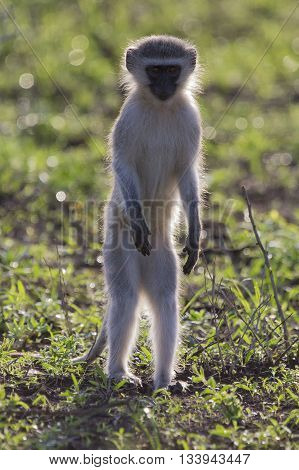 Vervet monkey walk back-lit in the early morning sun on green grass