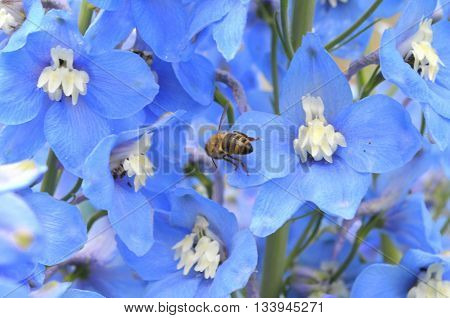 Bouquet of blue delphinium and bee on it - the congratulatory bouquet