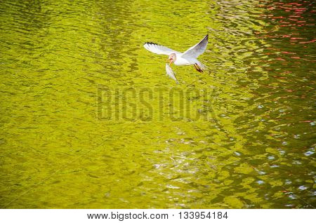 Travelling Seagull With Fish