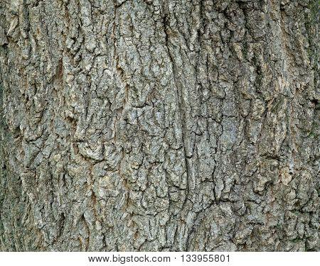 Tree bark bark on a trunk of a deciduous tree