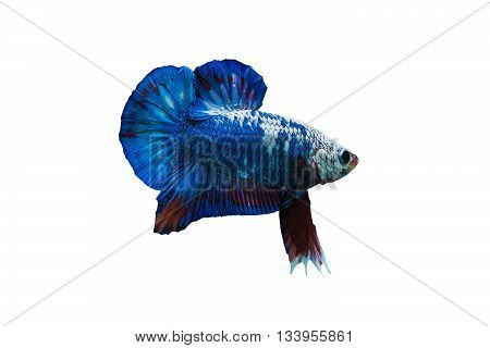 Siamese fighting fish in aquarium isolate on white background