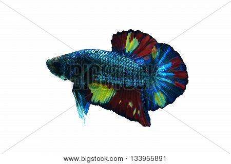 Siamese fighting fish in aquarium isolate white background