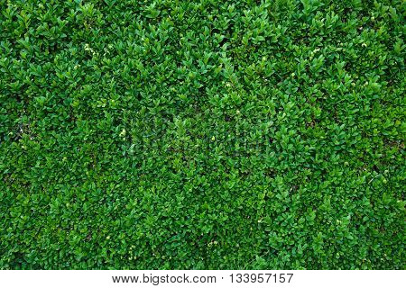 green leaves of plants such as a hedge