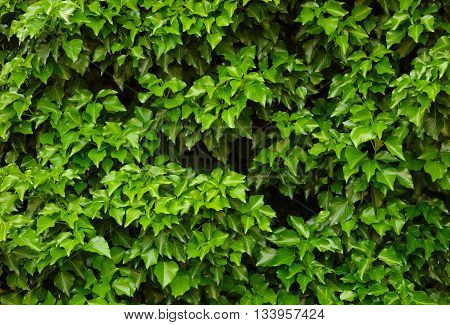 green leaves of plants such as hedge