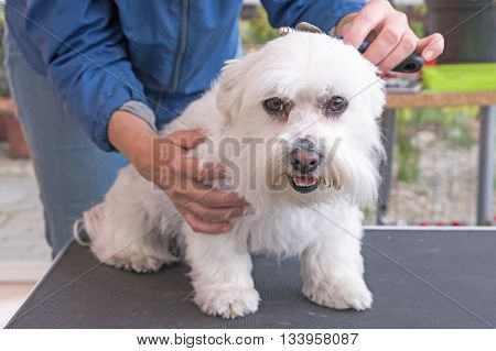 Combing the head of white Maltese dog. Dog is sitting on the grooming table.
