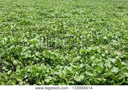 Water hyacinth plant is growing in canal max space for background design and concept of the natural environment.