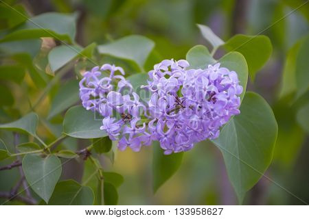 Lilac tree with delicate blossoms. Lilac flowers closeup. Spring mood with views of blooming lilacs.