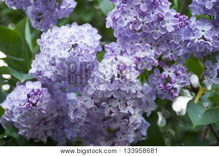 Lilac flowers delicate blossoms closeup. Spring mood with views of blooming lilacs.