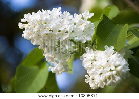 White lilac tree with delicate blossoms. Lilac flowers closeup. Spring mood with views of blooming lilacs.
