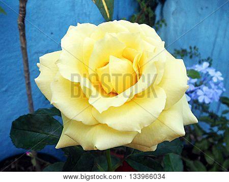 Venezuelan bright yellow rose flower as the sun