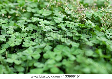 Green leaf clover in the field as the background