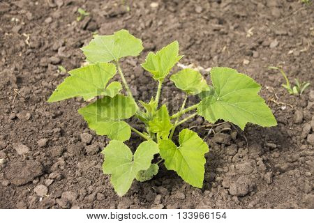 Zucchini or courgette plants growing in garden