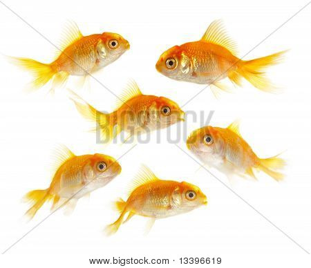 Gold Small Fishs