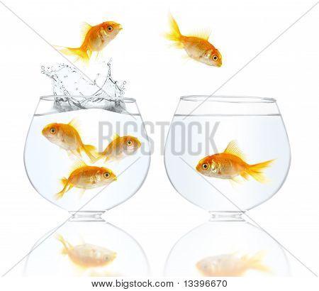 Peixes pequenos de ouro