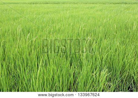 Bright green rice paddies fields in rural areas at Thailand and agriculture of the local population.