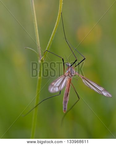 mosquito nematocera on grass on green background