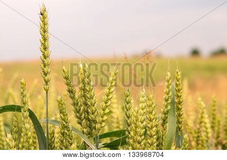 detail of a wheat field. A close up