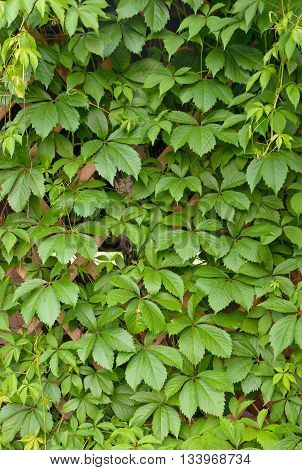 wild grape green wall. A close up