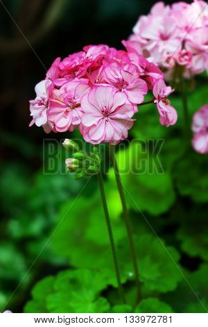 In the garden grow pink flowering pelargoniums