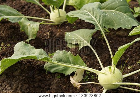 Green kohlrabi with vegetable growing on the vegetable bed.