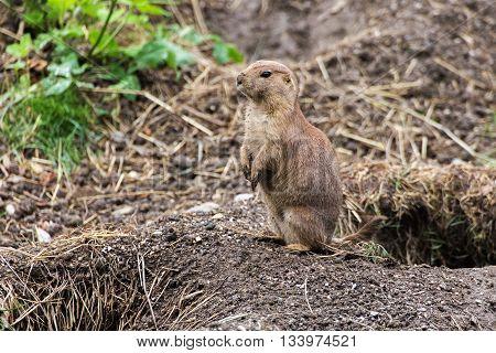 Black-tailed prairie dog standing. Wild animal. Cynomys ludovicianus