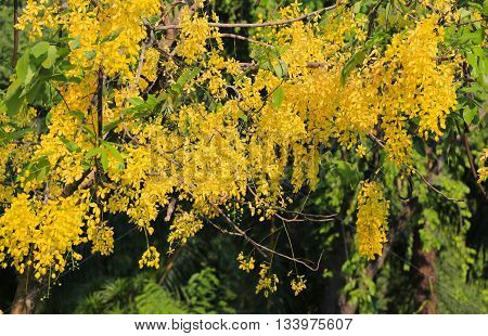 Cassia fistula or Golden shower bloom on tree in the garden In Thailand are named is Ratchaphruek.