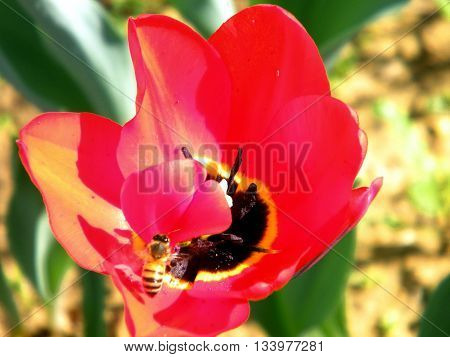 The bee and red tulip in winter in Or Yehuda Israel