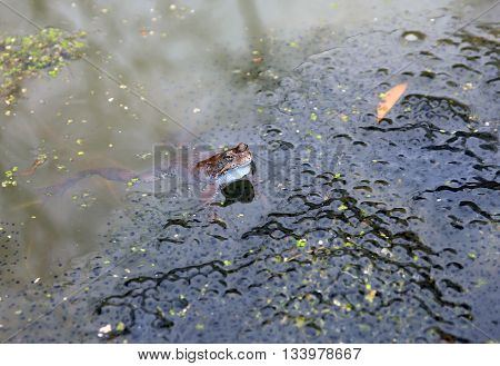 ordinary brown marsh frog with black frog spawn in the water in pond