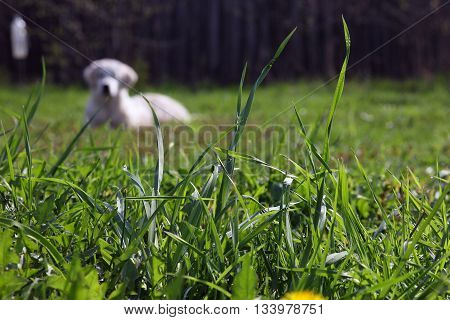 beautiful green fresh grass blades and meadow grass closeup foreground and white dog on grass in the background outside