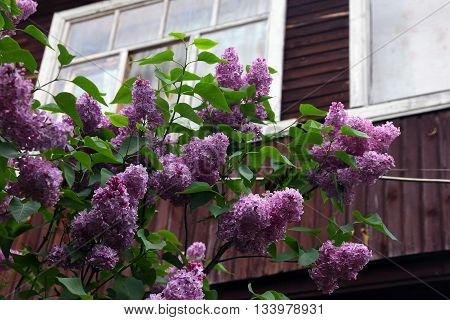 big beautiful good branch of purple lilac flower with green leaves closeup in the background of wooden country house