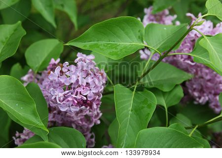 beautiful good bunch of purple lilac flower among green leaves closeup foreground