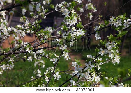 branches of beautiful blossoming plum tree with many small pretty white flowers and green leaves in spring
