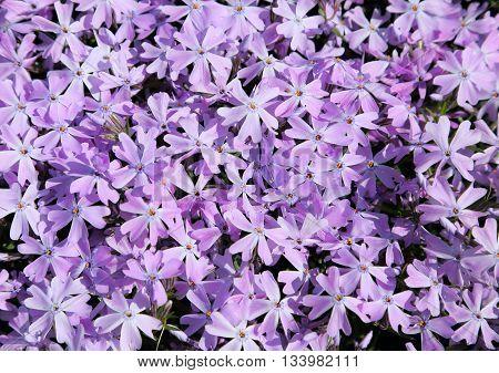 Purple phlox subulata. Background of flowers phlox subulata.