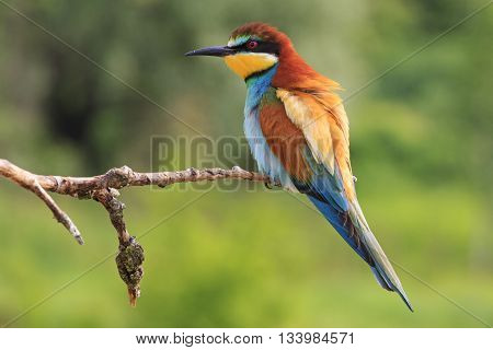 European bee-eater sitting on a branch, summer, colored bird