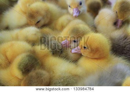Danish Lehart goslings, farm animals, waterfowl baby birds