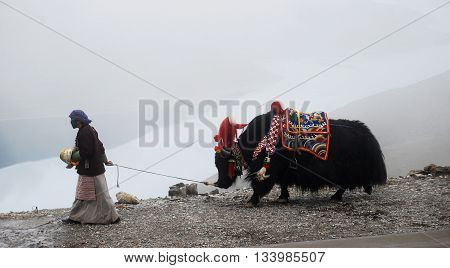 KAMBA LA PASS, TIBET, CHINA - AUGUST 4, 2010: tibetan woman walking with her yak.