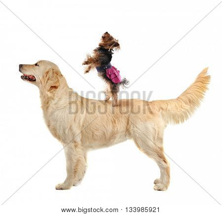 Yorkshire terrier standing on golden retriever back, isolated on white