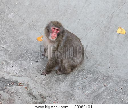 Japanese Macaque Macaca fuscata - snow monkeys living on the island of Honshu