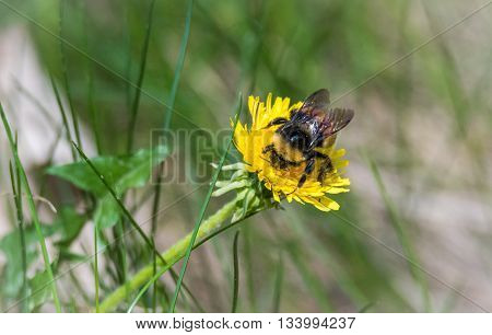 A bumblebee, member of the bee genus Bombus, in the family Apidae, looking for nectar and collecting pollen from a dandelion flower in spring.